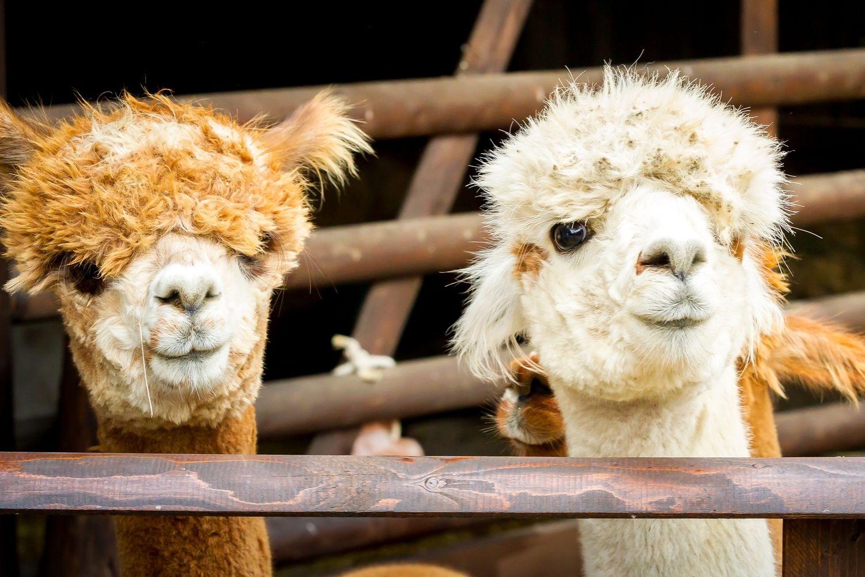 Alpaka Tour bei uns buchen